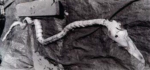 The Bones of the Block Ness Monster brought up in Block Island June 27, 1996.